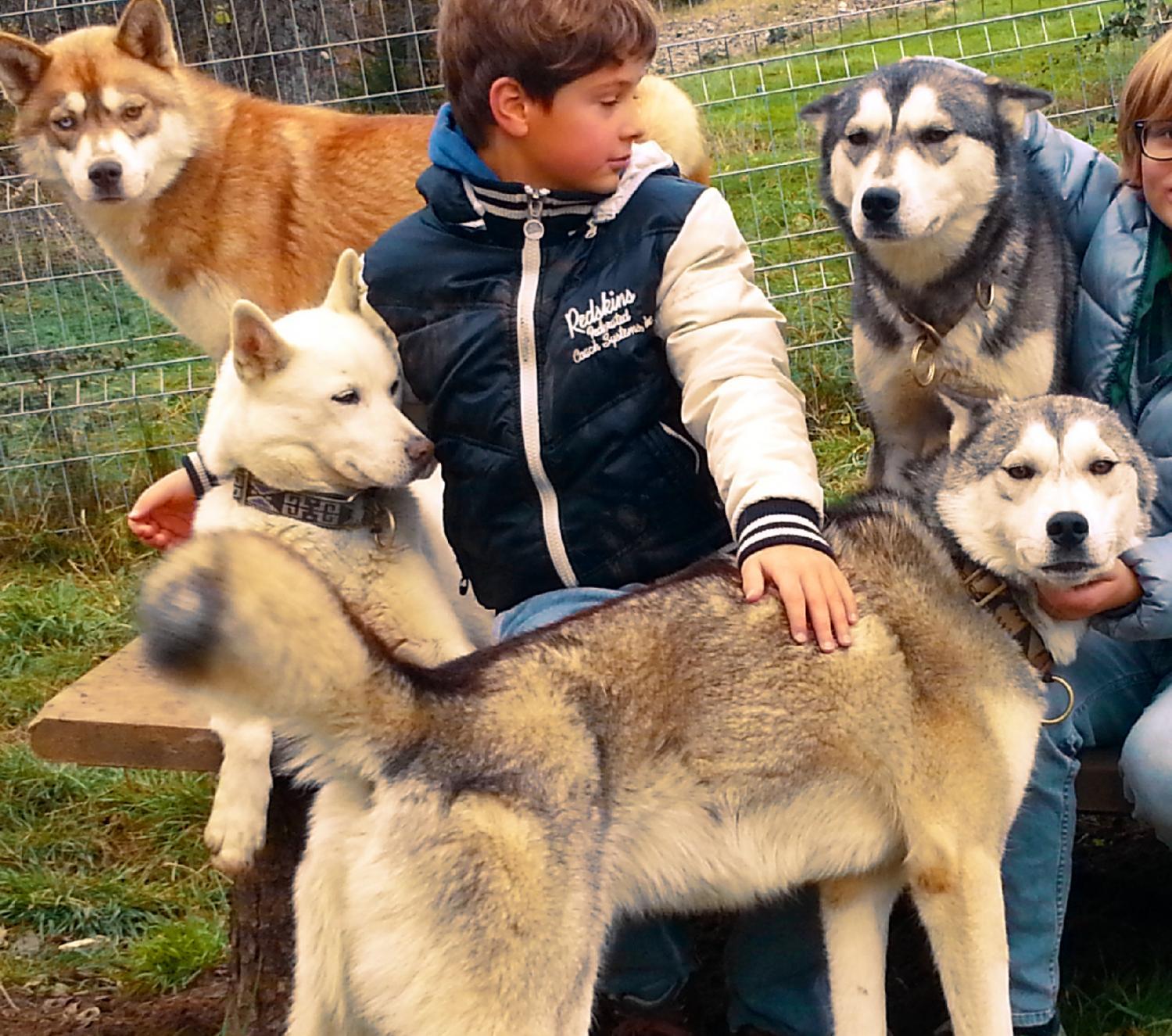 Chiens de Traîneau - Husky évasion nomade - Chiens loups