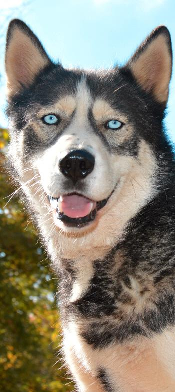 SOS HUSKY - CHIENS POLAIRES